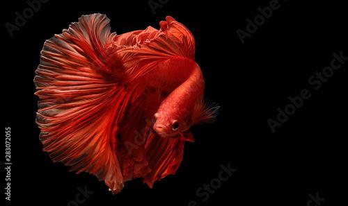 Photo red  color of Siamese fighting fish betta Thailand fish movement