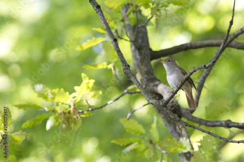 Common Nightingale perched in a tree singing loud in a city park in Berlin Germany.