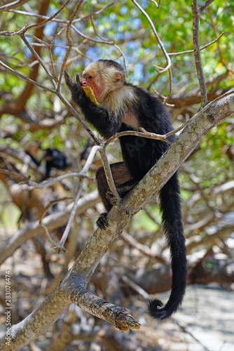 Valokuva  A white-headed capuchin monkey (cebus capucinus) eating fruit on a tree  in Peni