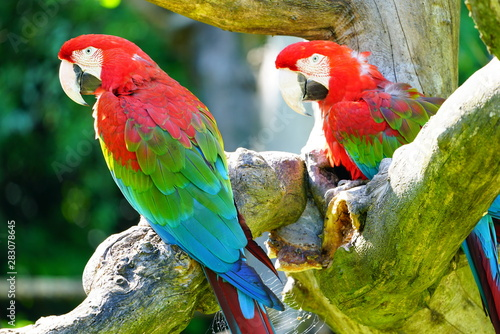 Two colorful red, blue and green parrot birds on a tree