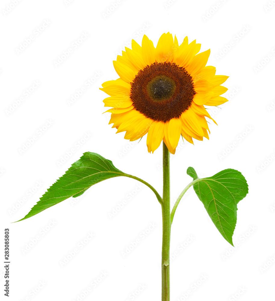 Fototapety, obrazy: Drei Sonnenblumen isoliert auf weißem Hintergrund