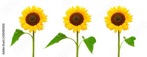 Papiers peints Tournesol Drei Sonnenblumen isoliert auf weißem Hintergrund