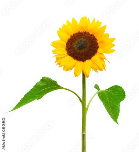 Poster Zonnebloem Drei Sonnenblumen isoliert auf weißem Hintergrund
