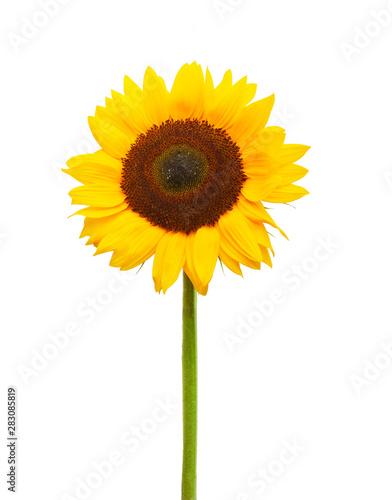 Fotografia  Drei Sonnenblumen isoliert auf weißem Hintergrund