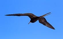 Magnificent Frigate Bird Taken...