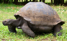 Giant Tortoise Closeup, Galapagos