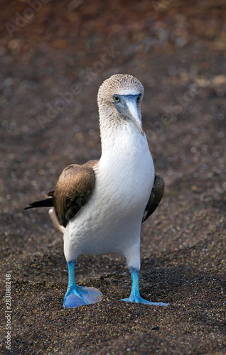 Blue-footed booby from Galapagos © gdvcom
