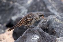 Floreana Mockingbird On A Rock, Galapagos Islands