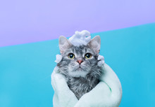 Funny Wet Gray Tabby Cute Kitten After Bath Wrapped In Green Towel With Big Eyes. Just Washed Lovely Fluffy Cat With Soap Foam On His Head On Blue Background.