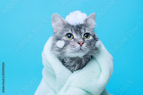 Fototapeta Funny wet gray tabby cute kitten after bath wrapped in green towel with big eyes