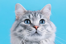 Funny Smiling Gray Tabby Cute ...