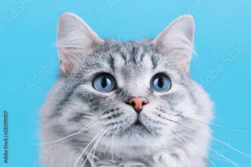 Fotografia, Obraz Funny smiling gray tabby cute kitten with blue eyes