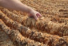 Farmer And Raditional Tobacco ...