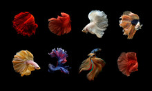Collection Of Siamese Fighting Fish Betta On Black