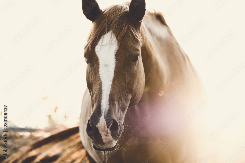Rustic horse image of mare looking at camera during summer sunrise.