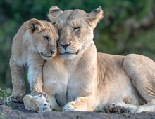 Lion Pride With Several Female Adult Lions And Numerous Babies And Juveniles In Maasi Mara, Kenya.