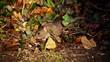 canvas print picture Wild Rat In Undergrowth