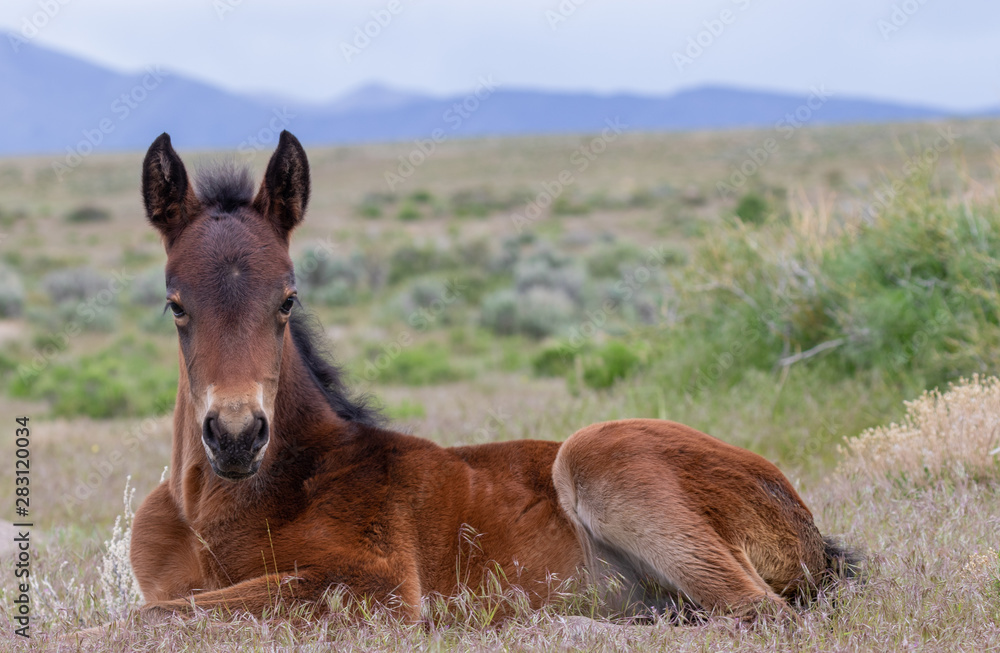 Cute Wild Horse Foal in the Utah Desert
