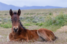 Cute Wild Horse Foal In The Ut...
