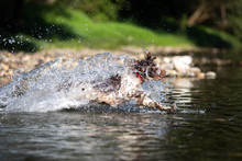 Dog Running In Water - English...