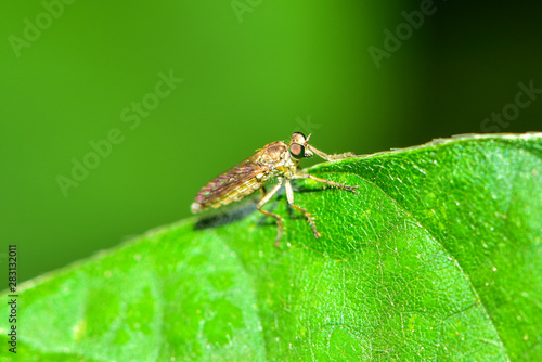 Pinturas sobre lienzo  The insectivorous gadfly perches on the field plants