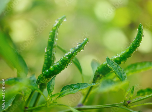 Obraz Green chili with water drop on tree in garden on soft light ray and blurry background. - fototapety do salonu