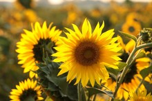 Sunflower - Helianthus Annuus In The Field At Sunset