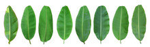 Set Of Green Banana Leaf Isola...