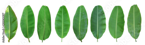 Set of green banana leaf isolated on white background. with clipping path - 283143087