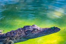 Siamese Crocodile In The Water