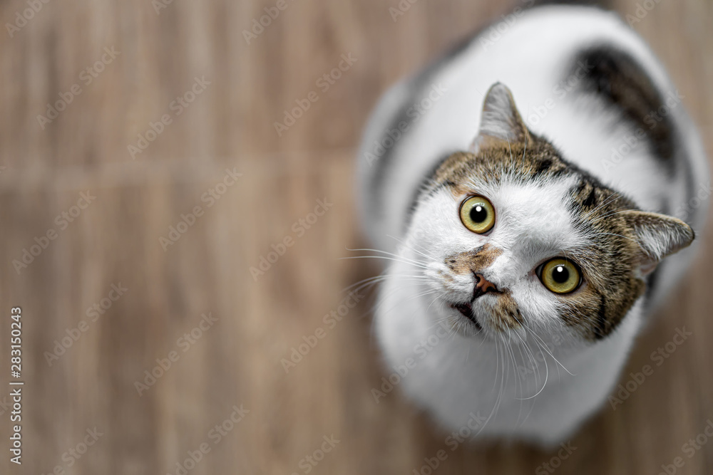 Fototapety, obrazy: Portrait of cute Scottish fold cat sitting on the wooden chair, green and yellow eyes Mammal, animal Pets concept