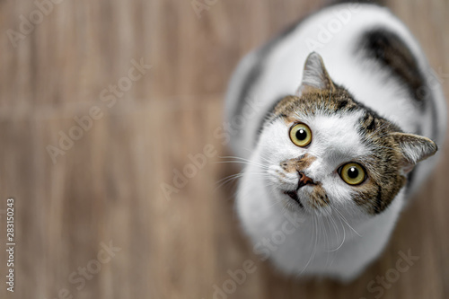 Portrait of cute Scottish fold cat sitting on the wooden chair, green and yellow eyes Mammal, animal Pets concept - 283150243