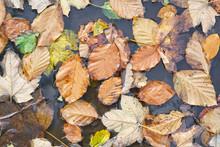 Hornbeam Leaves In Forest Stre...