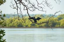 A Great Black Cormorant Sea Bi...