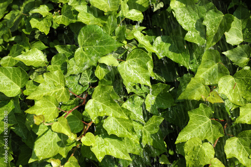 Green ivy leaves with rain drops as background