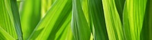 Close Up Of Green Corn Leaves In Sunlight