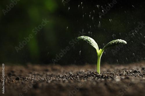 Fotomural  Sprinkling water on green seedling in soil, closeup
