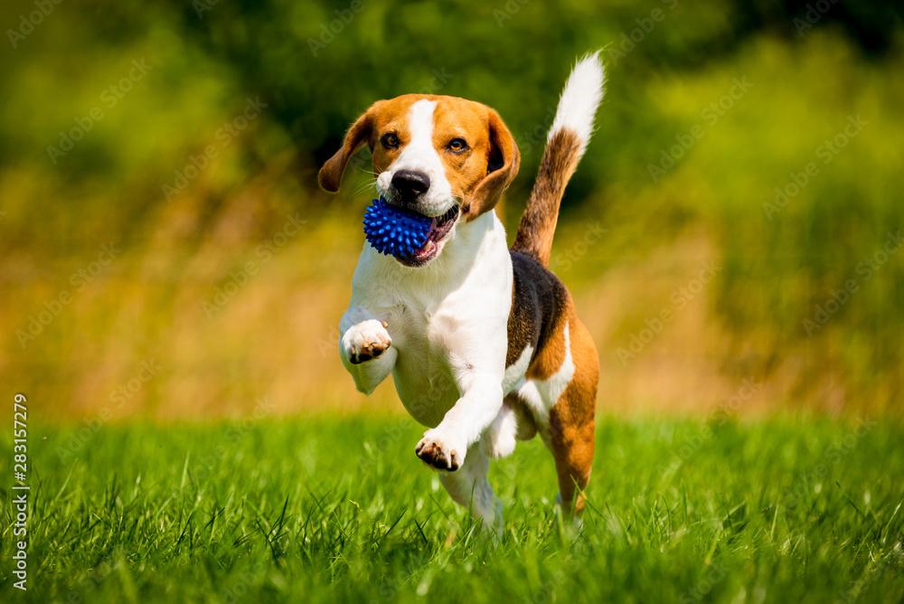 Fototapety, obrazy: Beagle dog fun in garden outdoors run and jump with ball towards camera