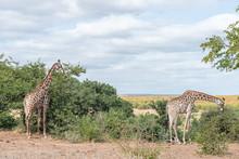 Two South African Giraffes, Giraffa Camelopardalis Giraffa, Browsing