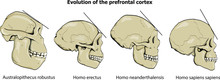 Evolution Of The Prefrontal Co...