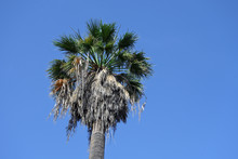 Tall Fan Palm Tree (Washington...