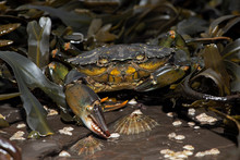 European Green Crab (Carcinus ...