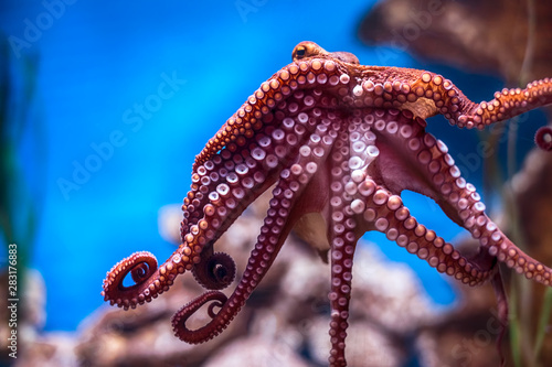 Fototapeta  Octopus on a glass wall in aquarium