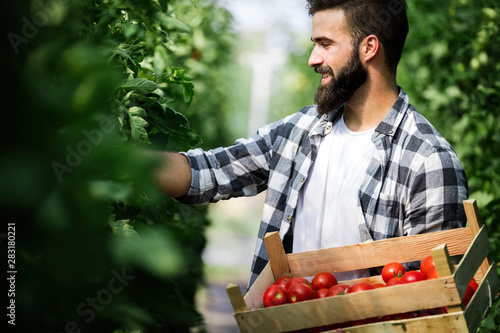 Photo sur Toile Les Textures Male farmer picking fresh tomatoes from his hothouse garden