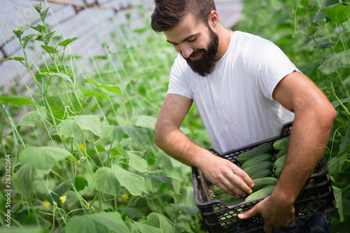 Photo sur Toile Les Textures Male farmer picking fresh cucumbers from his hothouse garden