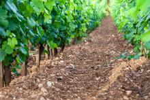 Closeup Panoramic Shot Rows Summer Vineyard Scenic Landscape, Plantation, Beautiful Wine Grape Branches, Sun, Limestone Land. Concept Autumn Grapes Harvest, Nature Agriculture Background