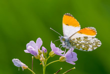 Orange Tip (Anthocharis Carda...