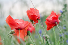 Blooming Poppy Flowers On A Rural Field In Switzerland. Shallow Depth Of Field.