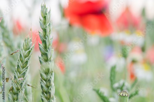 Foto auf Leinwand Olivgrun Cereal wheat in close up view with shallow depth of field. Detail of crops on field in Switzerland. Shallow depth oif field.