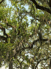 Tree Branches With Green Leaves And Spanish Moss